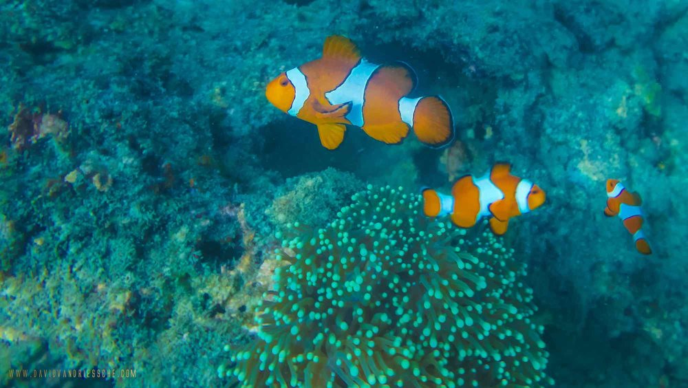 Burma Boating_ocean tour clownfish and coral.jpeg