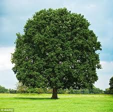 english oak.jpg