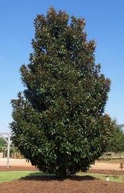 magnolia alta.jpg