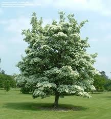 Fringe tree.jpg