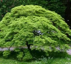 viridis maple.jpg