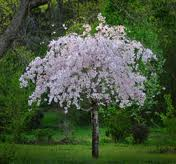 Weeping Cherry.jpg