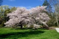 Montmorency Cherry.jpg