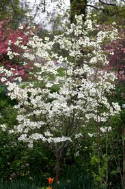 Cherokee Princess Dogwood.jpg