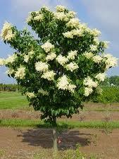 Ivory Silk Lilac Tree.jpg