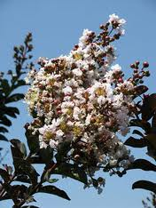 Burgundy Cotton Crepe Myrtle.jpg
