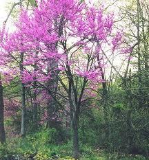 Appalachian Redbud.jpg