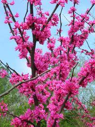 Tennessee Pink Redbud.jpg
