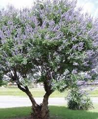 Chaste Tree.jpg