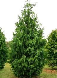 Alaskan Cedar Tree.jpg