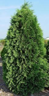 Nigra Arborvitae.jpg