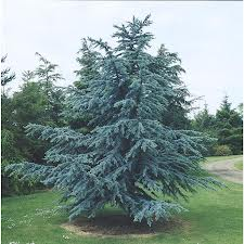 Blue Atlas Cedar.jpg