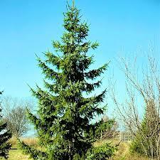 Serbian Spruce.jpg