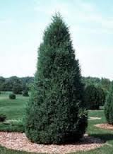 Canaerti Juniper Tree.jpg