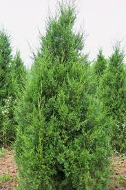 Ketleeri Juniper tree.jpg