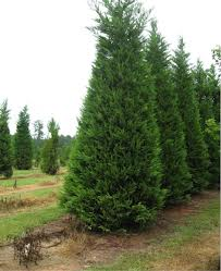 Leyland Cypress Tree.jpg