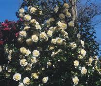 Jurys Yellow Camellia.jpg