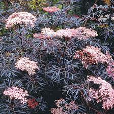 Black Lace Elderberry.jpg