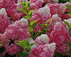 Fire and Ice Hydrangea.jpg