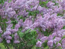 Lavender Lady Lilac.jpg