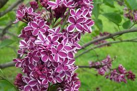Sensation Lilac.jpg