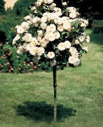 Sunny Knockout Rose Tree