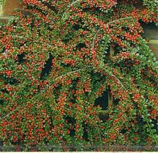 tom thumb cotoneaster