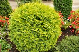 Umbraculifera (Globe) Arborvitae.jpg