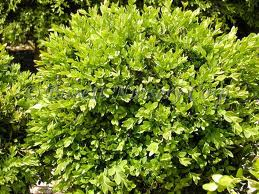 Green Velvet Boxwood.jpg