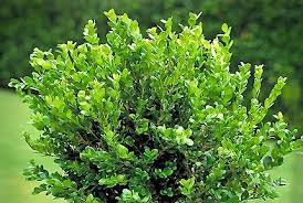 Wintergreen Boxwood.jpg