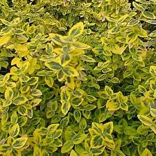 Emerald and Gold Euonymus.jpg