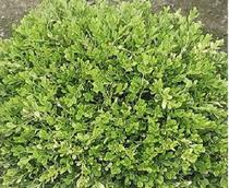 Winter Gem Boxwood.jpg