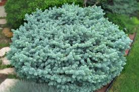Globosa Spruce.jpg