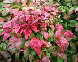 Heavenly Bamboo Nandina.jpg