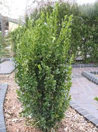 Jade Pillar Boxwood.jpg