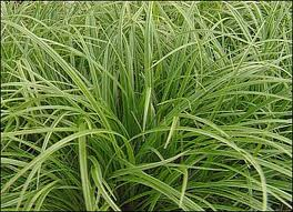 Carex Grass.jpg
