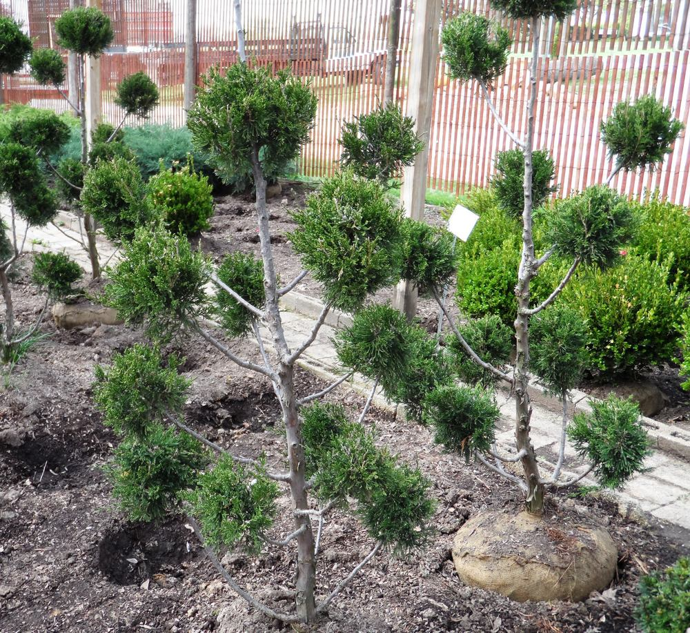 Juniper topiary watkins nursery - Upright trees for small spaces concept ...