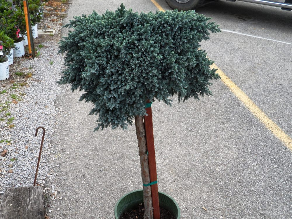 Little Blue Star Juniper