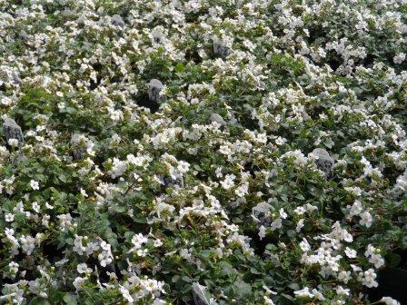 Bacopa giant white.JPG