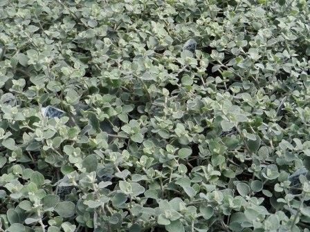 Helichrysum Vine.JPG