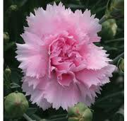 Dianthus - (Candy Floss) other flower colors and sents are available, full sun, 10 to 12 inches high