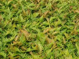 "Dryopteris, ""Autum Fern"" requires partial sun"