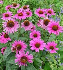 "Echinacea Magnus ""Cone Flower"" - requires full sun, available in a variety of colors"