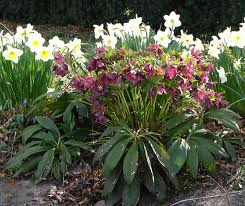 Helleborus  Lenten Rose - evergreen  come in red, pink, purple, white, yellow and varying shades, partial shade