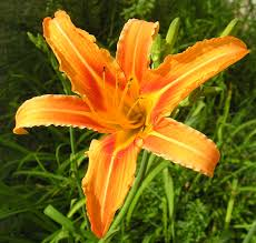 "Hemerocallis "" Daylily"" requires full sun, available in orange (Advante Garde), purple, white and shades of yellow"