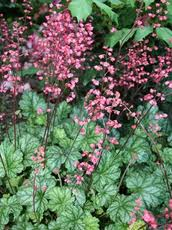 "Heuchera ""Coral Bells"" - colorful foliage and exquisite spikes of small bell-shaped flowers"