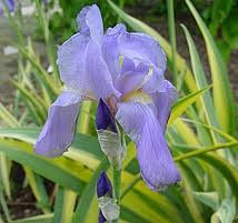 Iris pallida 'Aureovariegata' - [green and  yellow striped foliage blue blooms] other varieties available, partial sun moist soil
