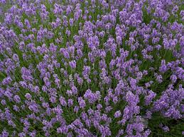 Lavandula angustifolia 'Munstead'- Lavender short shrubby herb with aromatic gray foliage, requires sun
