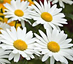Leucanthemum superbum 'Becky' (Shasta Daisy) morning sun, dry soil, other varieties available