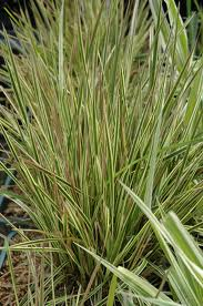Deschampsia caespitosa 'Northern Lights' - light thin semi-evergreen  grass,  plants tolerate more shade than most grasses.